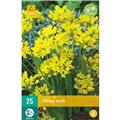 Allium moly * 25 pc cal.4/5