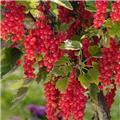 Groseillier Agate Rouge® sur tige C7.5L ** XXL prêt à produire **