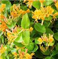 Lonicera henryi Copper Beauty Pot 16 - C2 **Feuillage persistant**