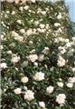 Rosier Alberic Barbier® Grimpant Pot C4