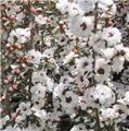 LEPTOSPERMUM scoparium Snow flurry C.2L RC