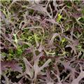 Brassica r.spp. Nipp. Mizuna Red Pot C 1.5L