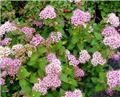 Spiraea japonica Little Princess Pot C2
