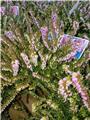Erica darleyensis variées P12