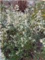 Osmanthus burkwoodii XXL 140 160 cm
