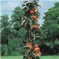 Pommier Cheverny Colonnaire Pot C10 ** Autofertile **