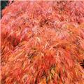 Acer palmatum Dissectum Orangeola Tige 120 Pot C16  XL