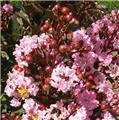 Lagerstroemia indica Petite Pink Pot C4