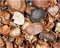 Coquilles décoratives sac 13.5 litres