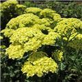 Achillea millefolium Sunny Seduction Pot C4