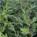 Cupressocyparis leylandii Fastigiata 80 100 Pot C5