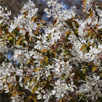 Amelanchier lamarckii Cepee Multi-tronc 200 250 Pot C50
