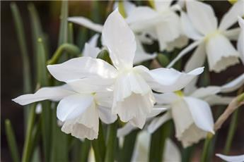 Narcisse triandrus Thalia * 40 pc cal.10/12 **Parfuméé **