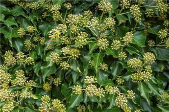 Hedera helix Arborescens Pot C3