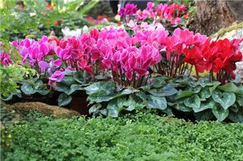 Cyclamen Patio In Out P23