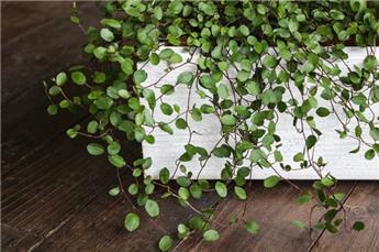 Muehlenbeckia capillaris Gros Pot