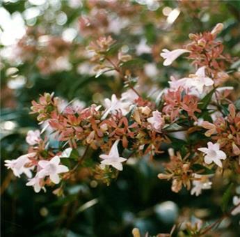 Abelia grandiflora Sparkling Silver C10L