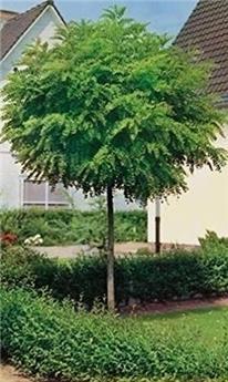 Robinia pseudoacacia Umbraculifera 20 22  Haute Tige Motte