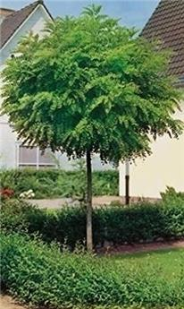 Robinia pseudoacacia Umbraculifera Haute Tige 12 14 ** Bien ramifié **