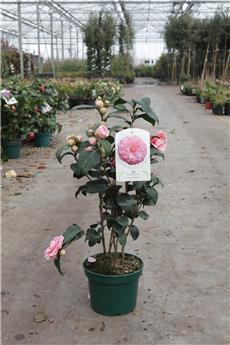 Camellia japonica Virginia Franco