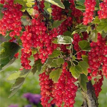 Groseillier-raisin Agate Rouge® sur tige C7.5L