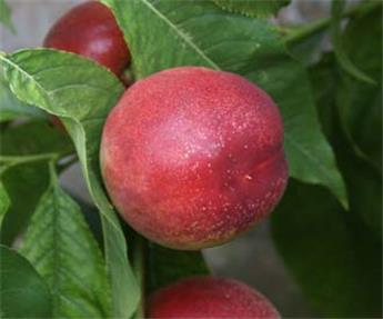 Nectarine Lord Napier Buisson 100 125 Pot C5 **Résistante à la cloque **