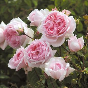 Rosier The Wedgewood Rose grimpant Pot **Parfumé et résistant aux maladies **