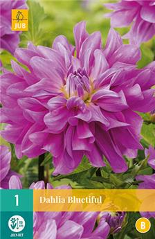 Dahlia Bluetiful * 1 Pc