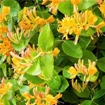 Lonicera henryi Copper Beauty Pot C3 ** Feuillage persistant **