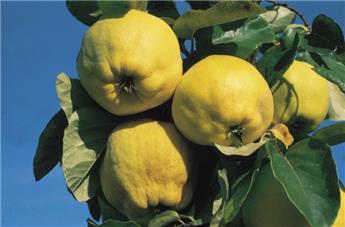 Cognassier Cydonia oblonga Leskovacz Buisson Pot C10L Cognassier à très gros fruits sucrés