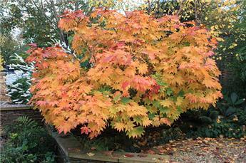 Acer japonicum Vitifolium 175 cm C90