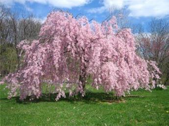 Prunus subhirtella pendula Rosea Haute Tige Motte