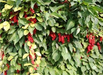 Shisandra chinensis Pot C2 - Baie aux 5 saveurs