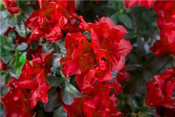 Azalea japonica Encore® Autumn Fire Pot C4