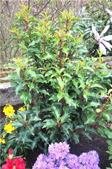 Prunus lusitanica Brenelia 80 100cm Pot C7.5L **Parfumé**