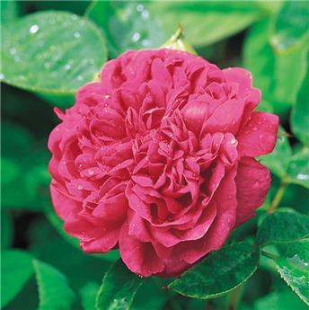 Rosier Rose de Rescht Pot  **Parfumé**