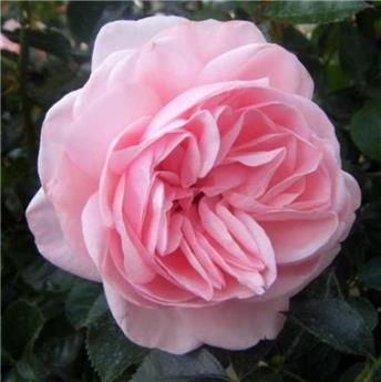Rosier La Fontaine Aux Perles® Pot C5L **Parfumé**