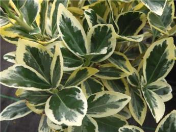 Euonymus japonicus Bravo 125 150 Pot C30 ** Plante XXL, bien dense **