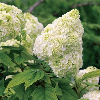 Hydrangea quercifolia Gatsby Moon Pot C10 **Original **