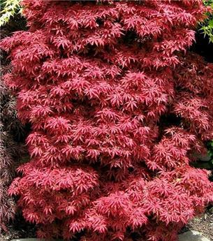 Acer palmatum Skeeters Broon 50 60 Pot C3
