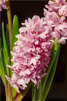 Hyacinthe Annabelle * 2 pc cal.15/16 ** Très parfumé **