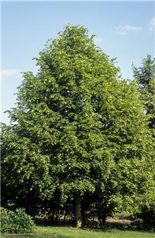 Tilia platyphyllos Fastigiata 200 250 Pot C15