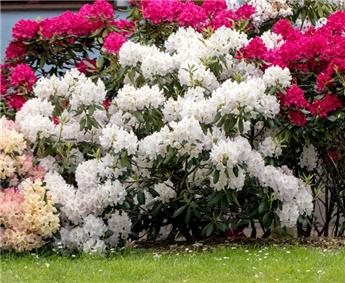 Rhododendron Cunninghams White 120 140 ** Plantes XXL **