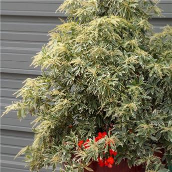 Pieris japonica Variegata Pot C5