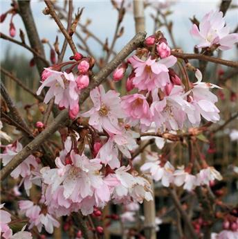 Prunus subhirtella Autumnalis Rosea Buisson 150 175 Pot C18 Cépée Multi Troncs