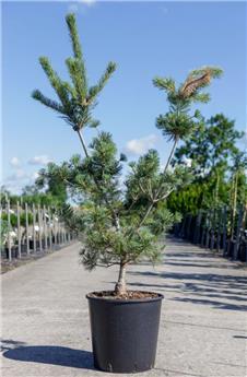 Pinus parviflora Tempelhof 150 175 cm Pot C35