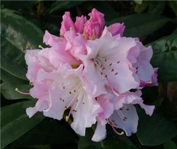 Rhododendron Christmas Cheer 50 60 Pot
