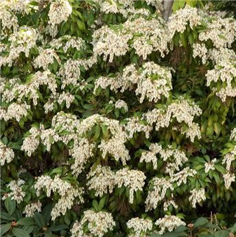 Pieris japonica Brouwers Beauty 50 60 Pot