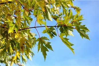 Acer saccharinum Laciniatum Wieri Haute Tige 14 16