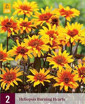 Heliopsis Burning Hearts* 2 Pc / Sachet ** Vivace **